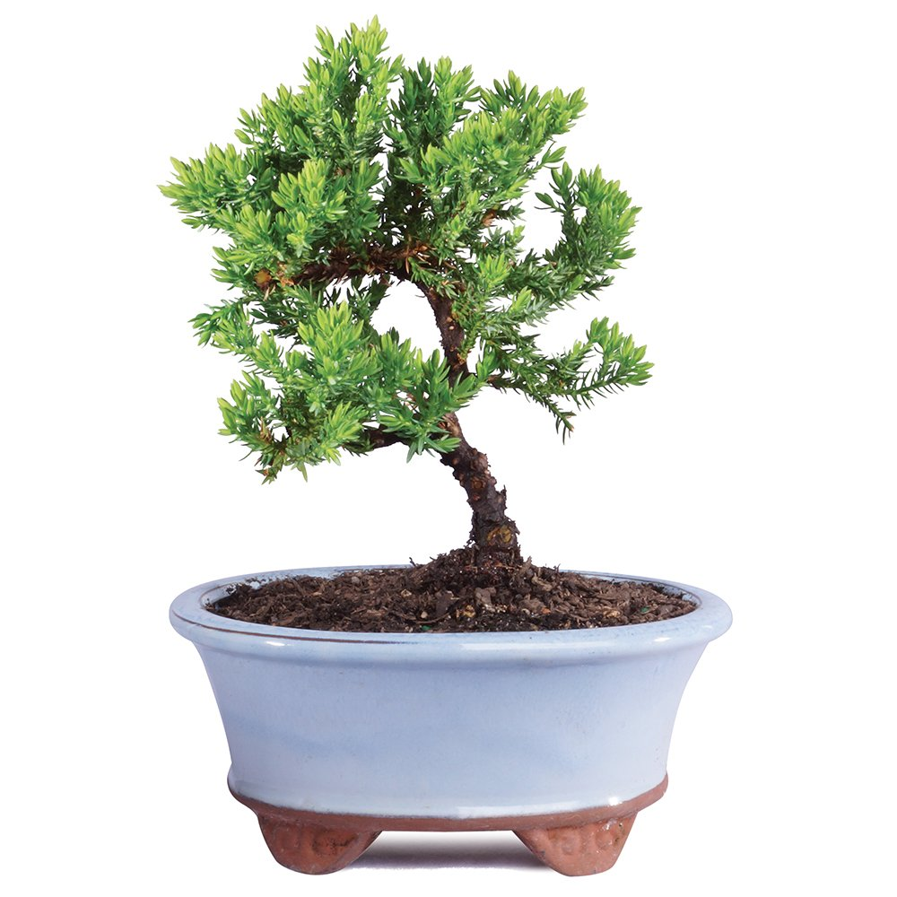 Brussel's Live Green Mound Juniper Outdoor Bonsai Tree - 3 Years Old; 4'' to 6'' tall with Decorative Container - Not Sold in California