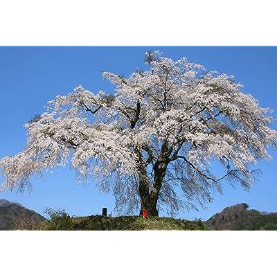 Japanese Weeping Cherry Tree 'Shidare Yoshino' - Live Plant Shipped 3 Feet Tall by DAS Farms (No California) : Garden & Outdoor