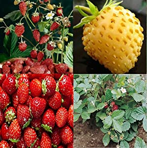 David's Garden Seeds Collection Set Fruit Strawberry 7449 (Red) 4 Varieties 300 Non-GMO Seeds