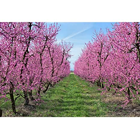 Laeacco 10x6.5ft Spring Garden with Blooming Trees Backdrop Beautiful Peach  Orchard Vinyl Photography Background Pink Flowers Green Grassland Clear
