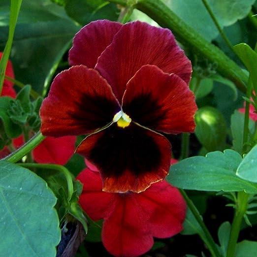 Gran jardín de flores pensamiento - rojo con punto negro - 400 semillas: Amazon.es: Jardín