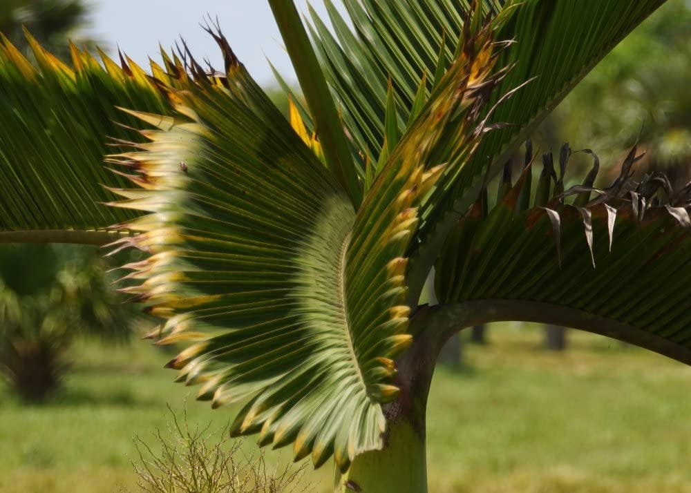 SAFLAX Garden in The Bag Bottle Palm Hyophorbe lagenicaulis 3 Seeds