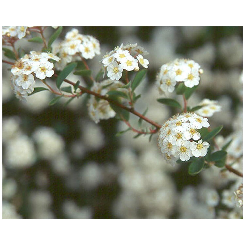 Van Houtte Spirea Bridalwreath Established Perennial - 12 Plants in 2.5'' Pots