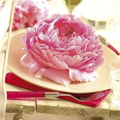 Van Zyverden 83511 Peonies Sarah Bernhardt Set of 5 Economy Sized Roots, 1/2 Eye, Pink : Garden & Outdoor