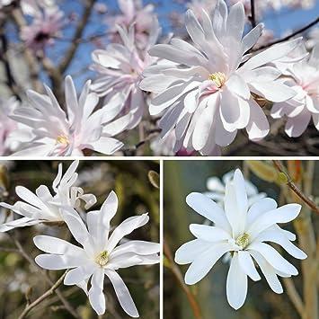 Magnolia Tree Compact Hardy Shrub Stellata Baring Scented White