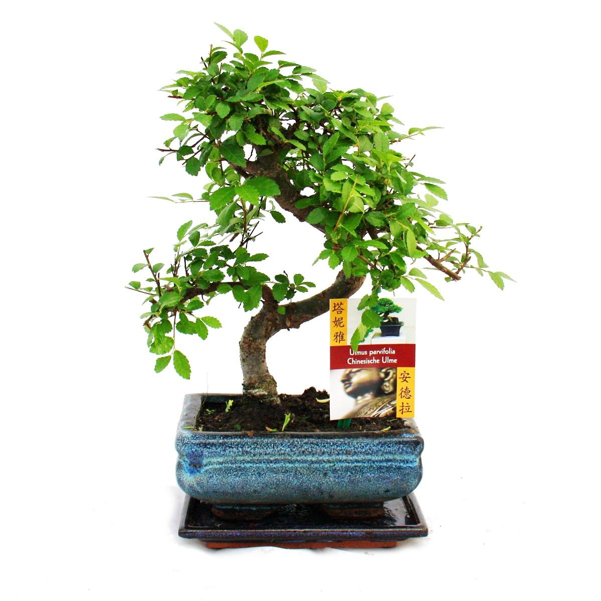 Bonsai Tree LIVE 8 Year Old Buddhist Pine Indoor House Plant