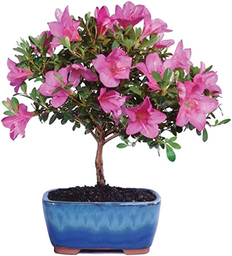 Amazon Com Brussel S Live Satsuki Azalea Outdoor Bonsai Tree 6 Years Old 8 To 10 Tall With Decorative Container Garden Outdoor