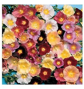 a30e01fb1 HOLLYHOCK - ANTWERP MIX - 100 FLOWER SEEDS - ALCEA FICIFOLIA: Amazon ...
