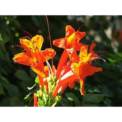 Special Tecomaria Capensis - Cape Honeysuckle - Very Rare Tropical Shrub Seeds (5) : Garden & Outdoor