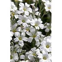 Semi Snow-In-Summer - Cerastium tomentosum - 1200 semi - 1200 semi