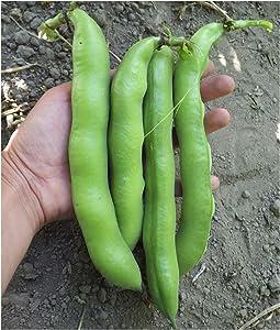 David's Garden Seeds Bean Fava Vroma 1715 (Green) 25 Non-GMO, Open Pollinated Seeds