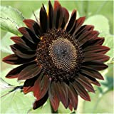 Package of 40 Seeds, Chocolate Sunflower (Helianthus annuus) Non-GMO Seeds by Seed Needs