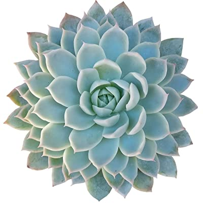 "Echeveria Violet Queen Hens and Chicks Succulent (2"" + Clay Pot) : Garden & Outdoor"