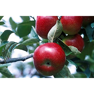 Empire Apple Tree-Healthy-Established-One Gallon Pot-1 Each-Growers Solution from Grandiosy Farm : Garden & Outdoor