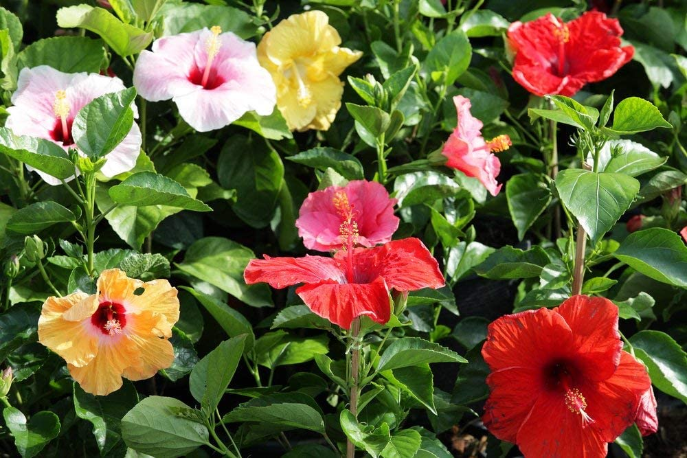 Potseed Hibiscus syriacus 5 Semillas de Hibisco