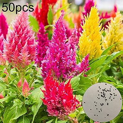 wpOP59NE 10/30/50Pcs Mix Color Celosia Crested Cockscomb Seeds Garden Flower Yard Decor - 50pcs Cockscomb Seeds Plant Seeds : Garden & Outdoor