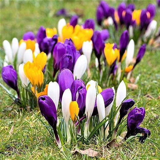Fiori Da Giardino Perenni.Bulbi 30 Pezzi Crocus Fiori Da Giardino Grandi Perenni Viola