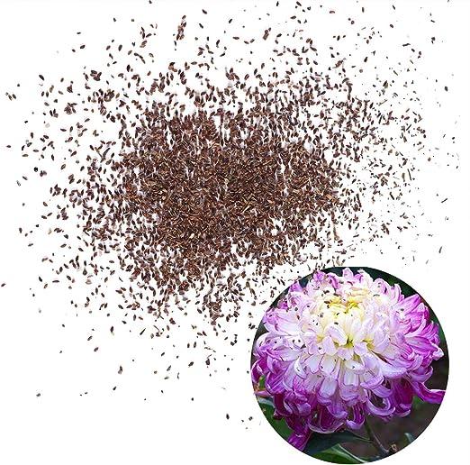 Yardwe 50 UNIDS Crisantemo Semillas de Flores Semillas de Jardín para Plantar para Plantas de Macetas de Interior Bonsai Home Garden Balcón (C14): Amazon.es: Jardín