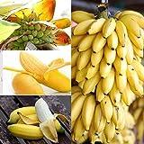 Dwarf Banana Tree- 100 SEEDS PACK