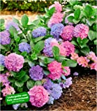 "BALDUR-Garten Winterharte Freiland-Hortensie""L.A. Dreamin"" 1 Pflanze Hydrangea"