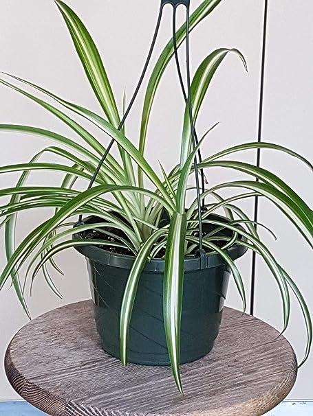 """Spider Plant Variegated Chlorophytum comosum Hanging Live Plant Fit 6/"""" Pot"""