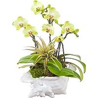 Living Phalaenopsis & Airplant in LG Ceramic Seashell pot - Petite Burgundy Blooms