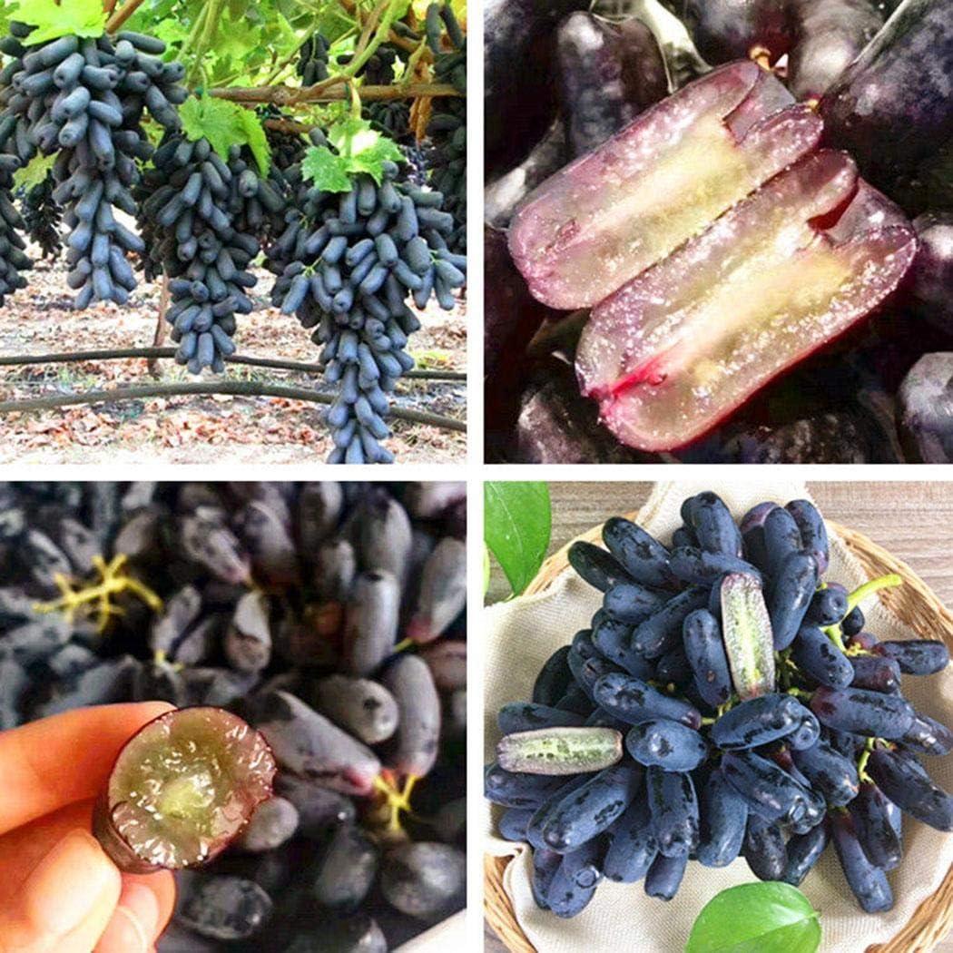 ADOLENB Seed House - 100 unids Rare Negro Uva Uva Vid Dedo Uva Semilla Semilla Bonsai Planta Jardín Uva Fruta Semilla Perenne