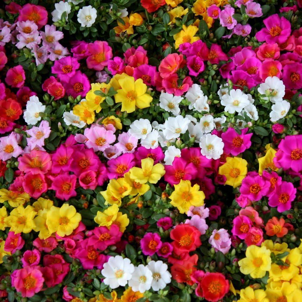 Moss Rose semillas mezcladas - Portulaca grandiflora
