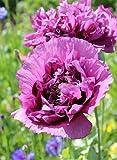 Mohn, Schlafmohn 'Lila Paeony' 50 Samen - Papaver somniferum (Poppy Purple Peony) …