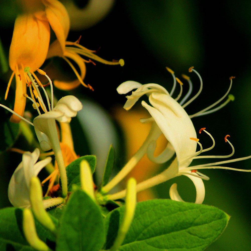 WuWxiuzhzhuo 50Pcs Honeysuckle Seeds,Fragrant Flowers Herbal Plant,Home Garden Bonsai Decor