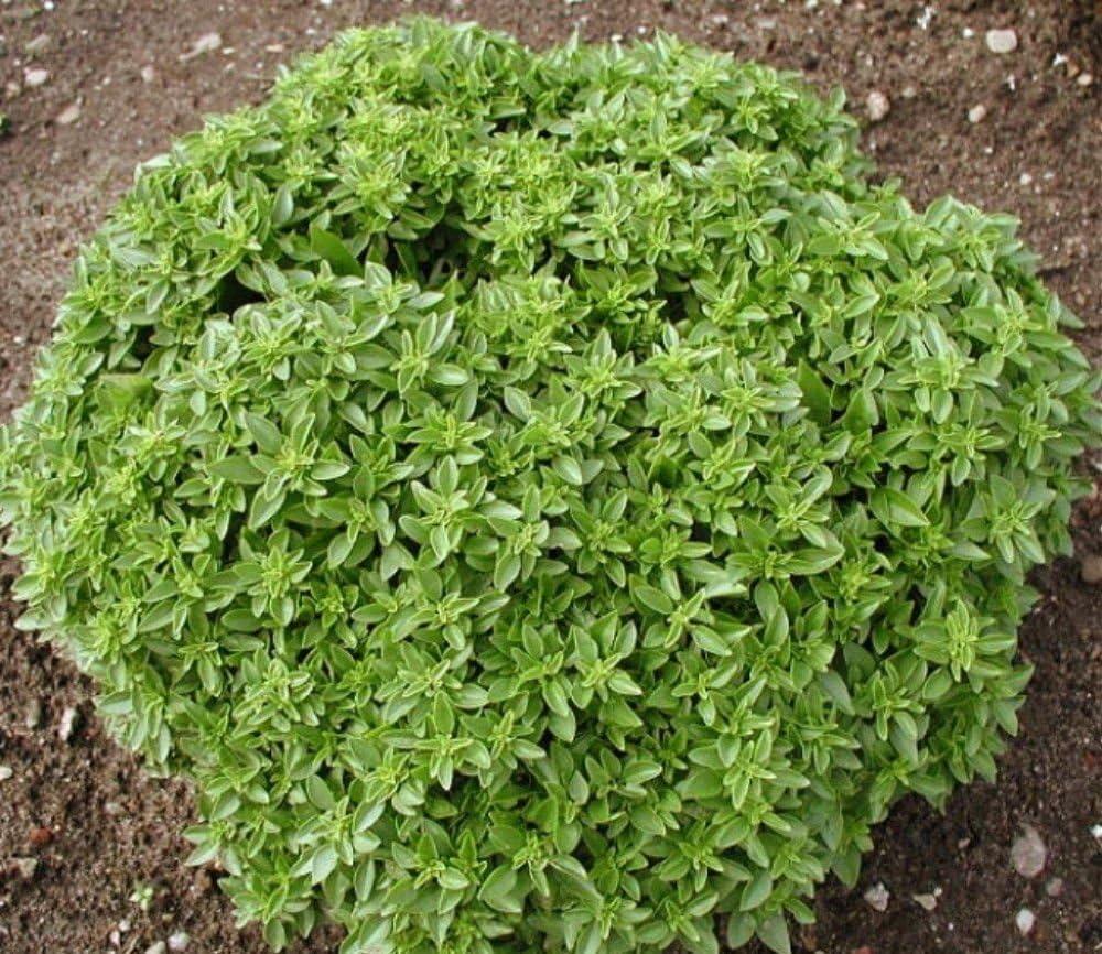 Basilico Nano compatto una Palla greco-basil semillas 7 G: Amazon ...