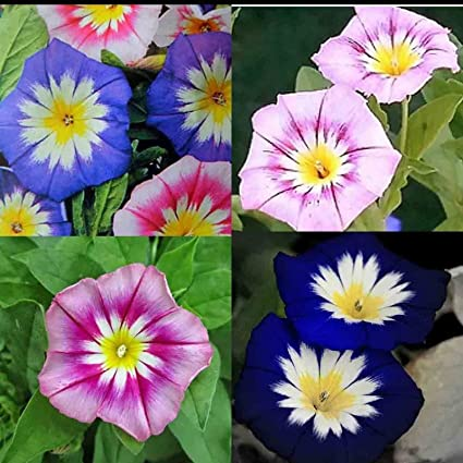 Amazon com : Morning Glory Dwarf Collection 80 Seeds : Garden & Outdoor