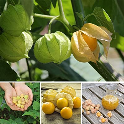 wpOP59NE 100Pcs Physalis Pruinosa Seeds Bonsai Ornamental Plant Home Garden Balcony Decor - Physalis Pruinosa Seeds Plant Seeds : Garden & Outdoor