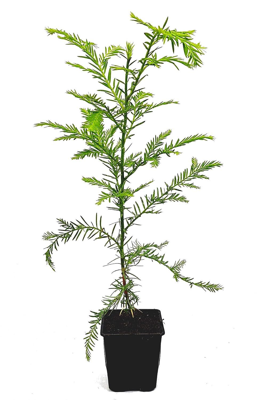 Mammutbaum Seedeo/® K/üsten Pflanze 3 Jahre Sequoia sempervirens