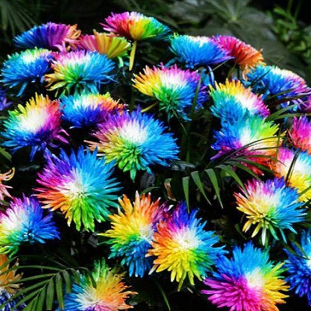 KOUYE GardenSeeds-50//100 Pcs Rare Rainbow Chrysanthemum Seeds Flower Seeds Perennial Bonsai Seeds for Home Garde Balcony