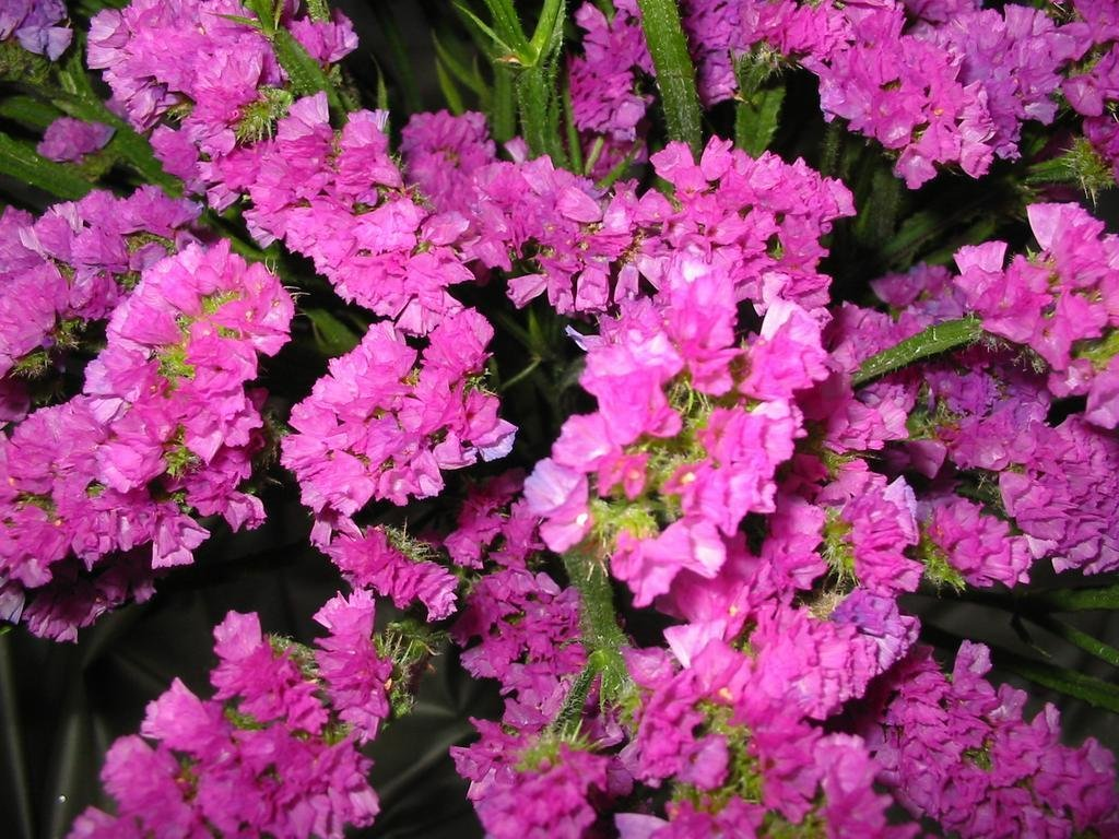 Amazon Statice Pink Sea Lavender Limonium Sinuatum 130