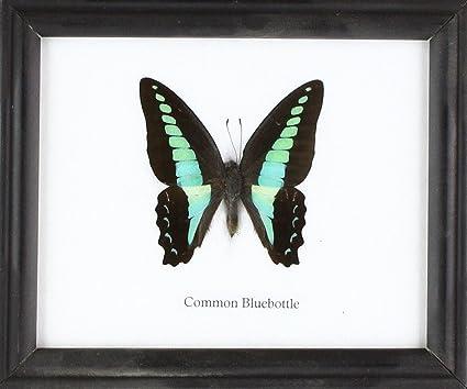 Amazon.com - Insectfarm BTF01AA Framed Real Common Bluebottle ...