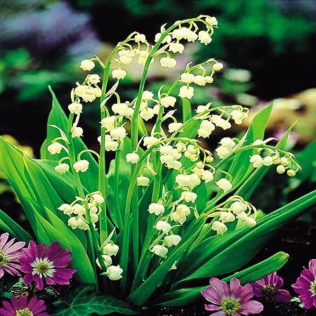 Amazon Com Convallaria Majalis White 5 Plants Flowering Plants Garden Outdoor
