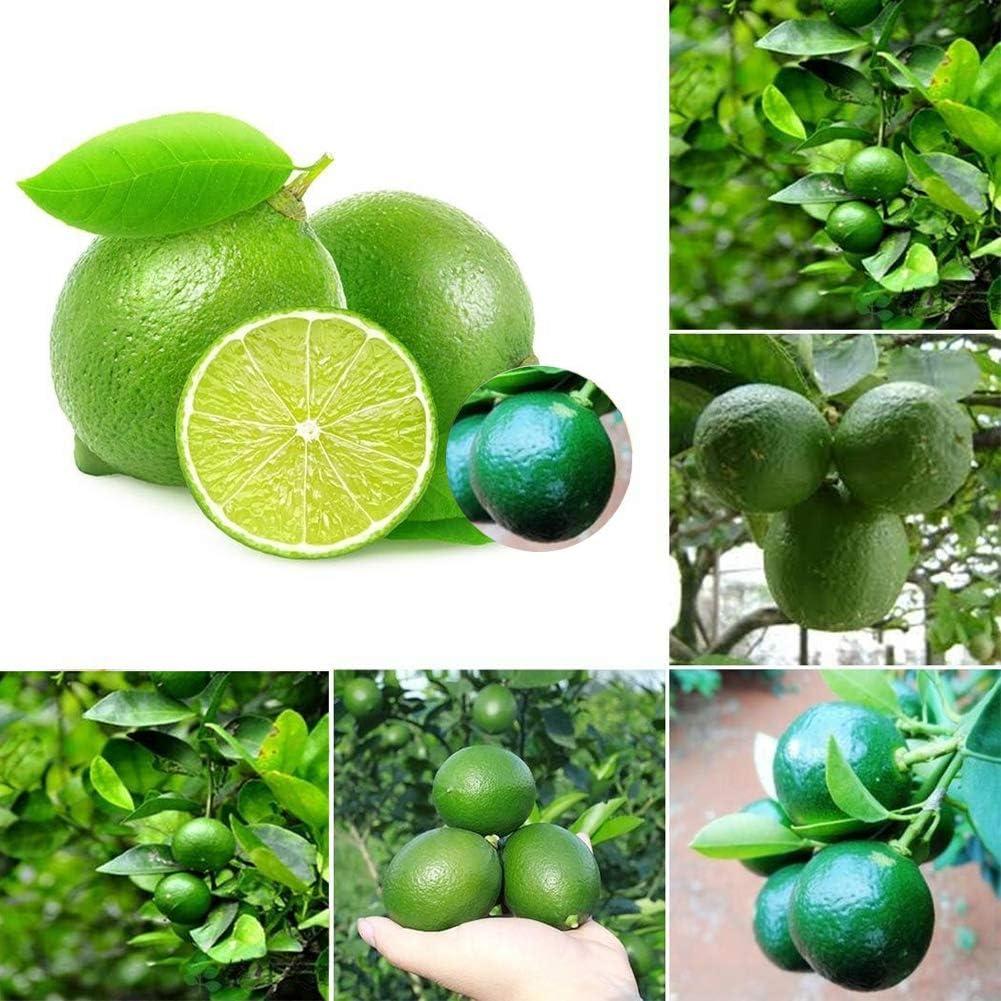 Lime Seeds for Yard Gardening Plant,20Pcs Lime Seeds Citrus Fruit Tree Farm Balcony Garden Yard Mini Bonsai Plant Lime Seeds by ZHOUBA