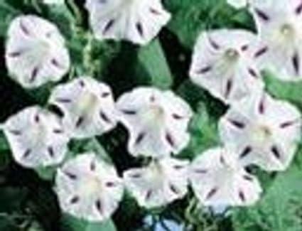 Amazon com : 5+ Milky Way Morning Glory Seeds ~ : Garden & Outdoor