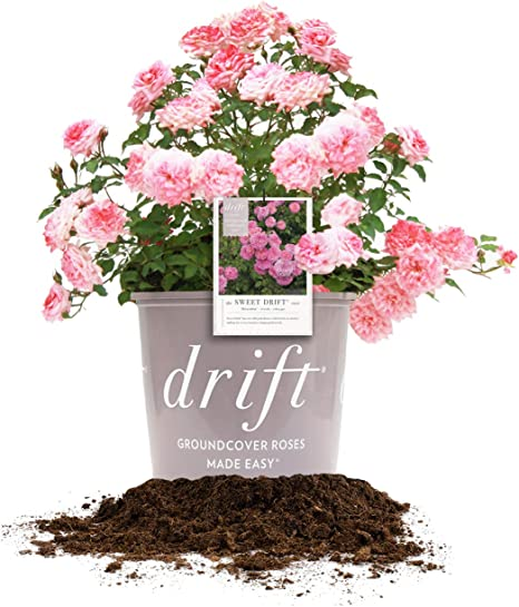 Amazon Com Perfect Plants Sweet Drift Rose Live Plant 3 Gallon