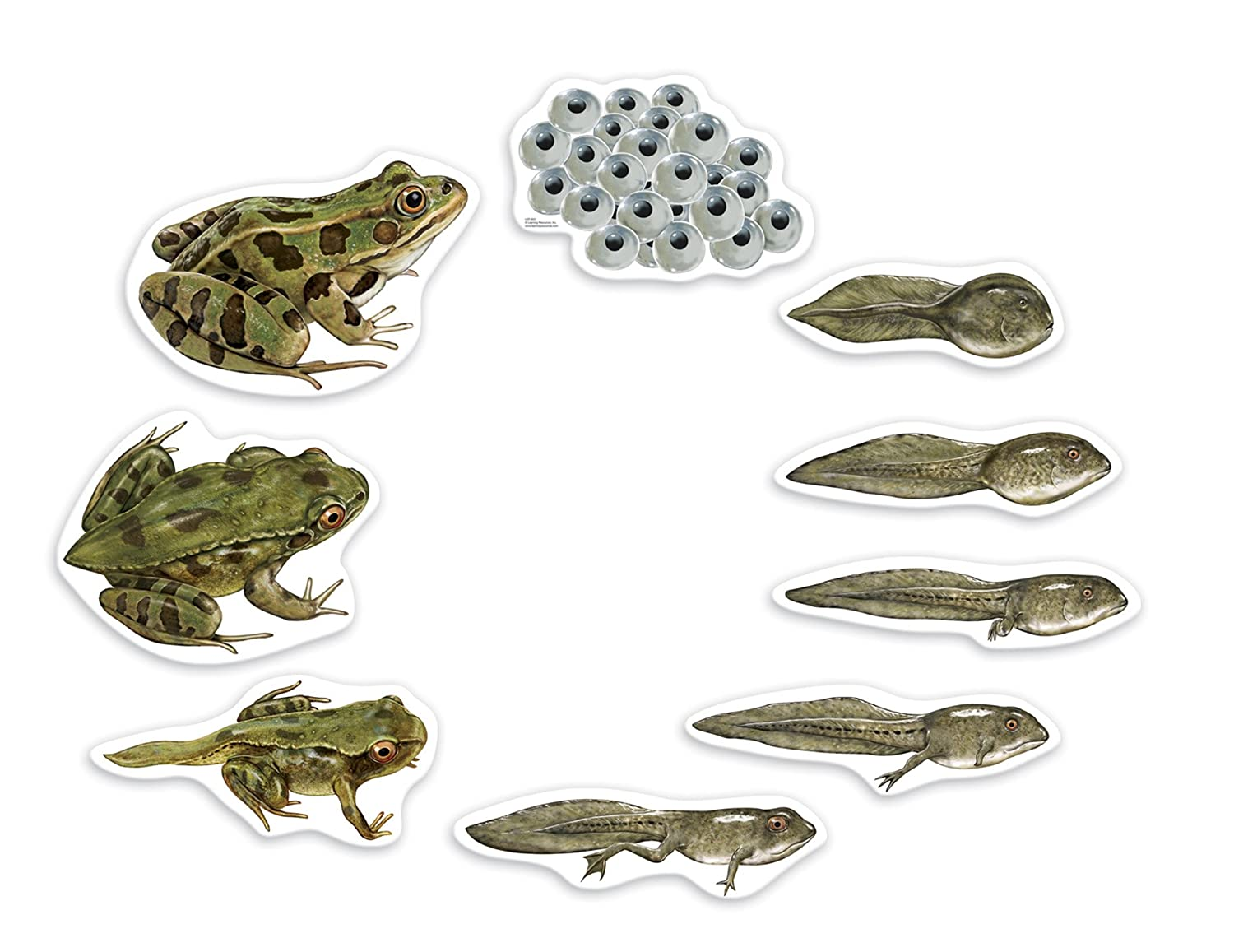 life cycle of a frog magnetic bulletin board for kids