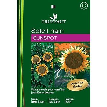 Truffaut : Soleil Nain Simple Sunspot : En Sachet: Amazon.fr: Jardin