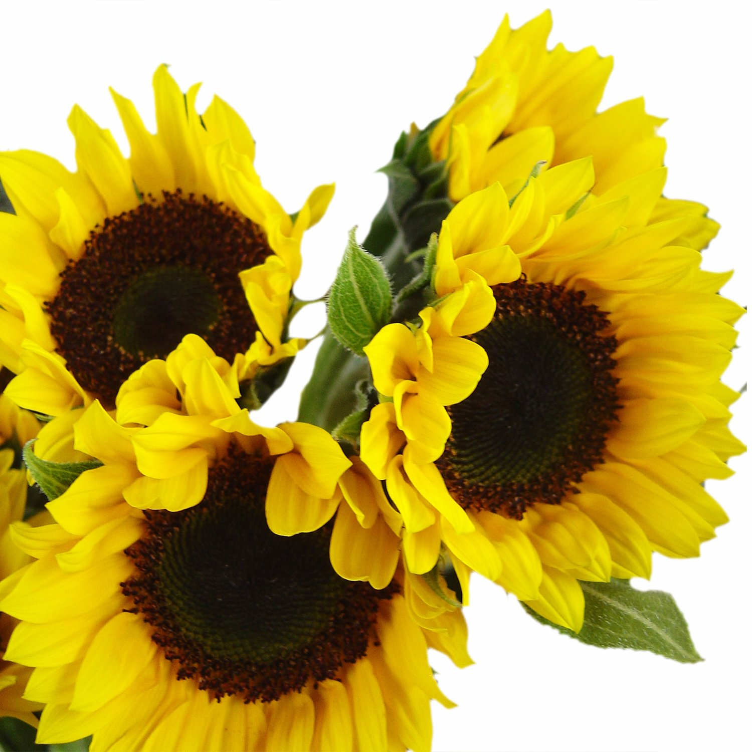 GlobalRose 15 Stems of Sunflowers Brown Center - Fresh Flowers for Delivery by GlobalRose