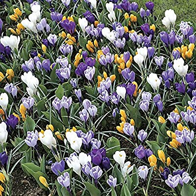 20 X Mixed Crocus Bulbs Top Quality Special Offer Amazon Co Uk Garden Outdoors