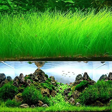 Aquarium Plants Seeds Water Grass Seeds for Fish Tank Rock Lawn Garden Decor-Long Grass,2000pcs