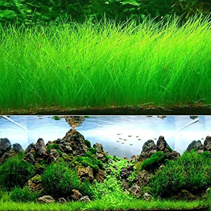 Beau Aquarium Grass Plant Seeds, West Coast Easy Aquatic Live Plant, For Garden  Lawn Fish