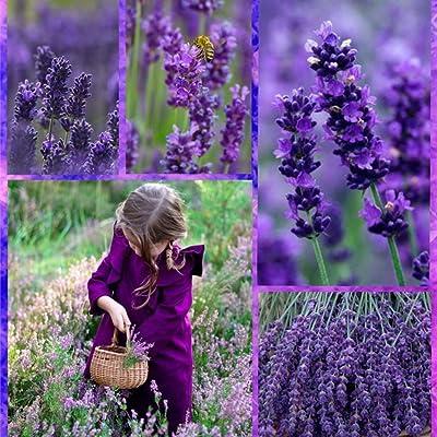 LEANO Garden - 100PCS Lavender Seeds Outdoor Pot Bonsai Beautiful Vera Herb Flower Seeds Home Garden Flowers : Garden & Outdoor