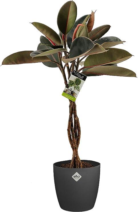 Planta de interior de Botanicly – Gomero en maceta antracita como ...