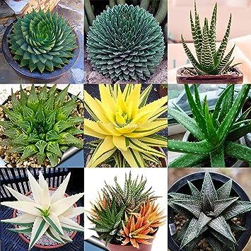 Cioler Seed House 100 Pièces Aloe Vera Vera Aloe